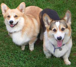 Bernard and Jiver the corgis