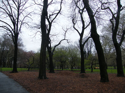 Cold trees in a soggy Central Park