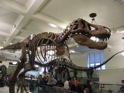 The dinosaur skeleton that stars in Night at the Museum, at the American Museum of Natural History
