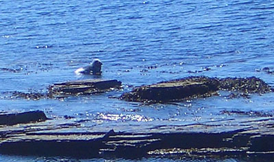 Seal off the coast of Rousay