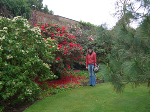 Gorgeous rhododendrons at Logan Botanic Gardens